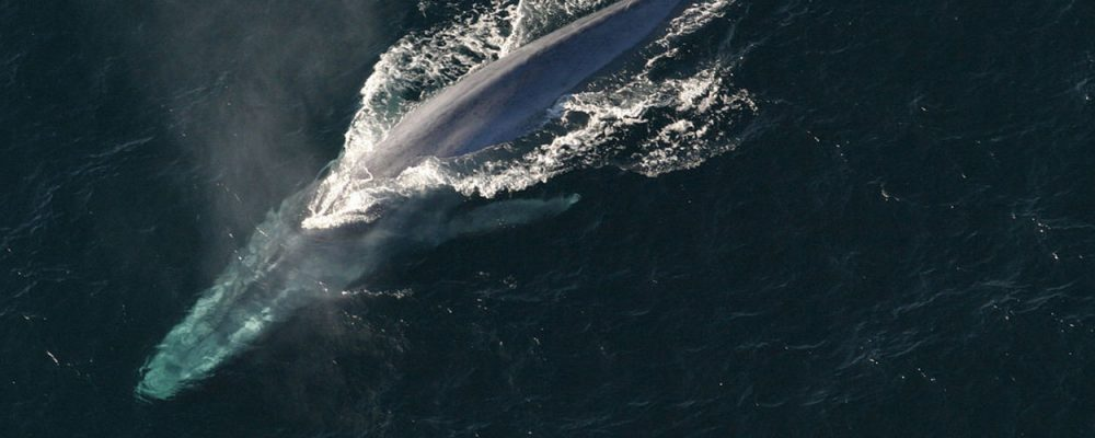 Stop Island Whaling Blue Whale